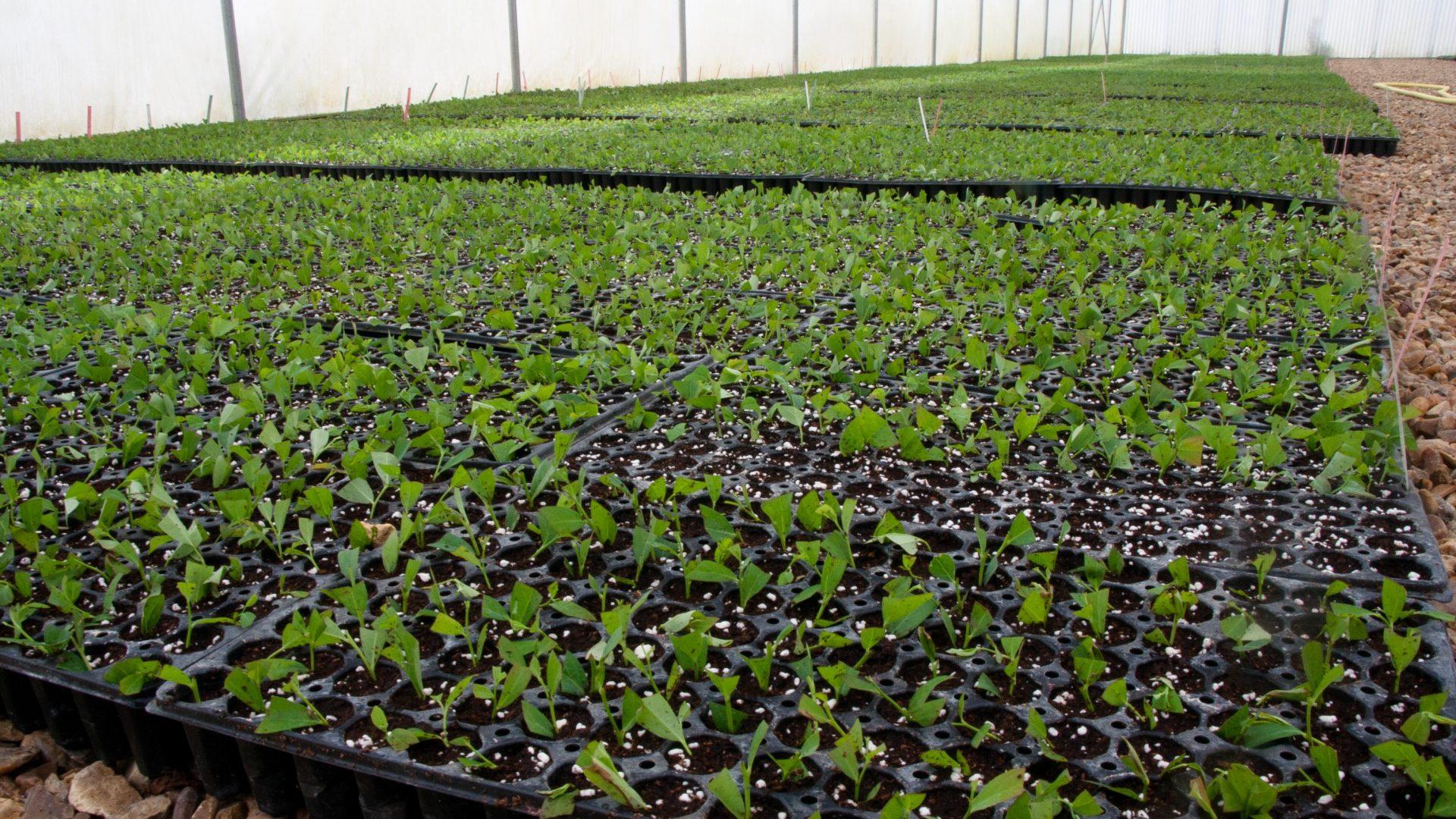 jeunes plants myrtilles