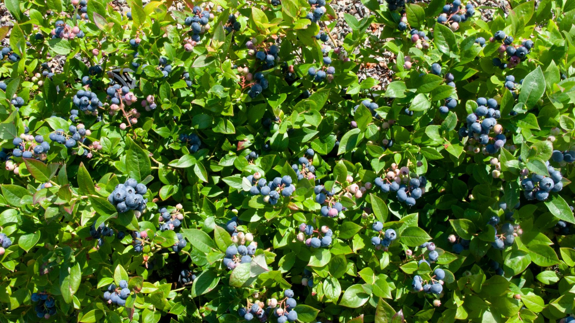 myrtilles_arbuste