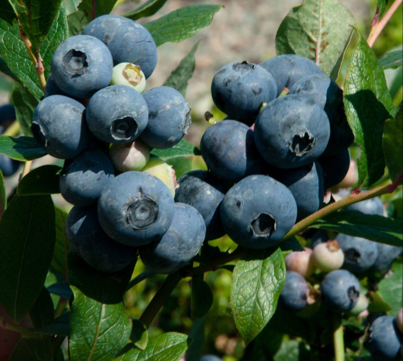 Blueberry Northern Highbush Patriot