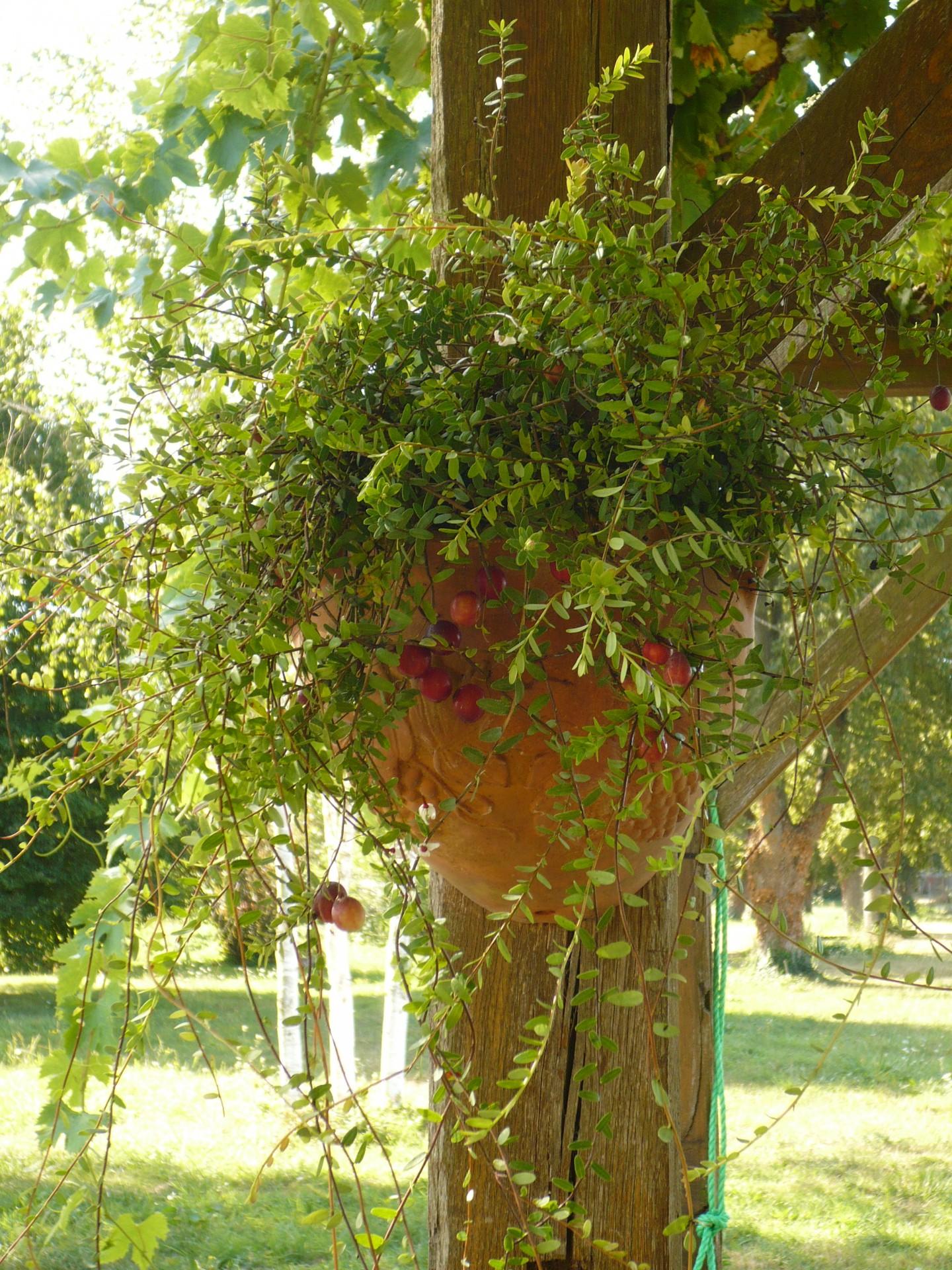 Cranberries Vaccinium Macrocarpon Pilgrim