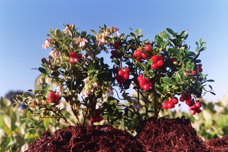Lingonberries (Vaccinium vitis-ideae) Red Pearl