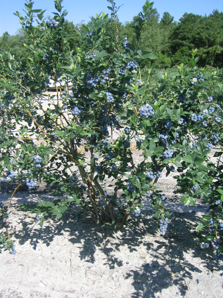 Northern Highbush Blue One