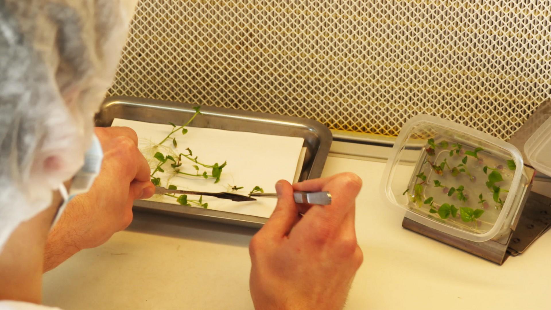 in_vitro_coupe_jeunes_plants