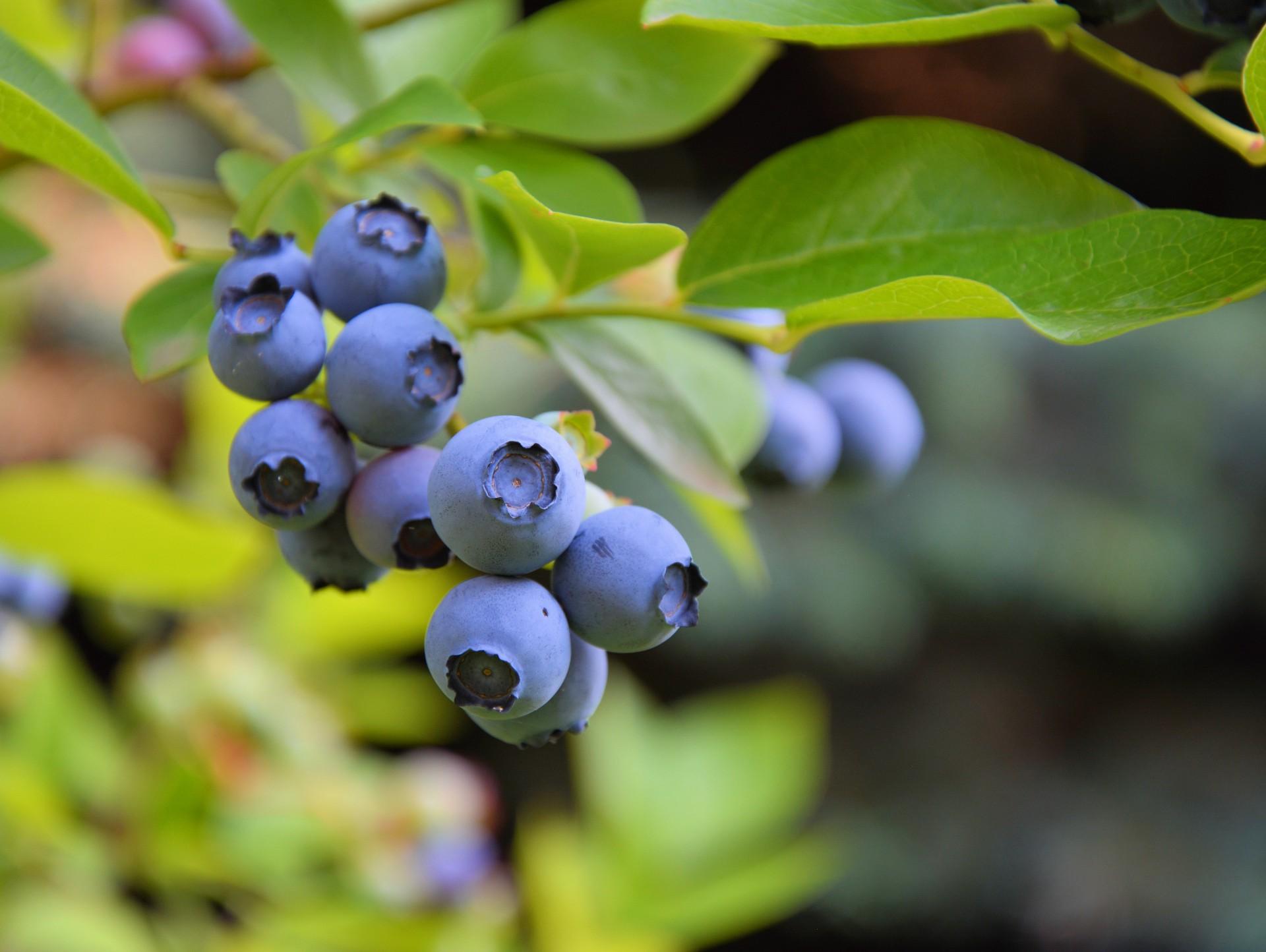 myrtilles_blueberry